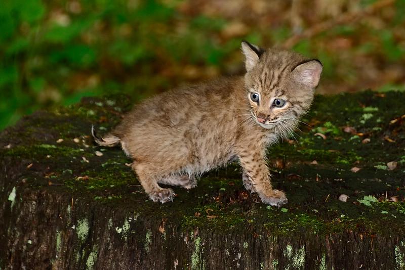 BobcatKitten-sjs-2015-014