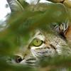 Bobcat(Lynx-rufus)-11