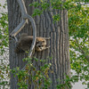 Raccoon-MM-5-18-17-SJS-004