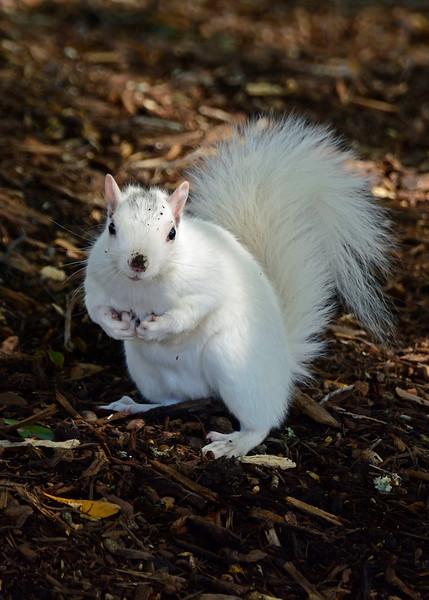 WhiteSquirrel-BrevardNC-11-3-18-SJS-45