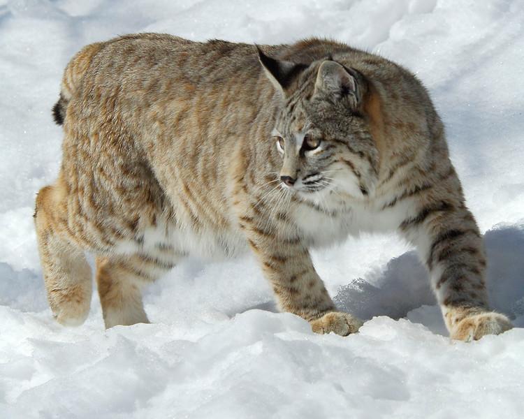 Bobcat(Lynx-rufus)-35