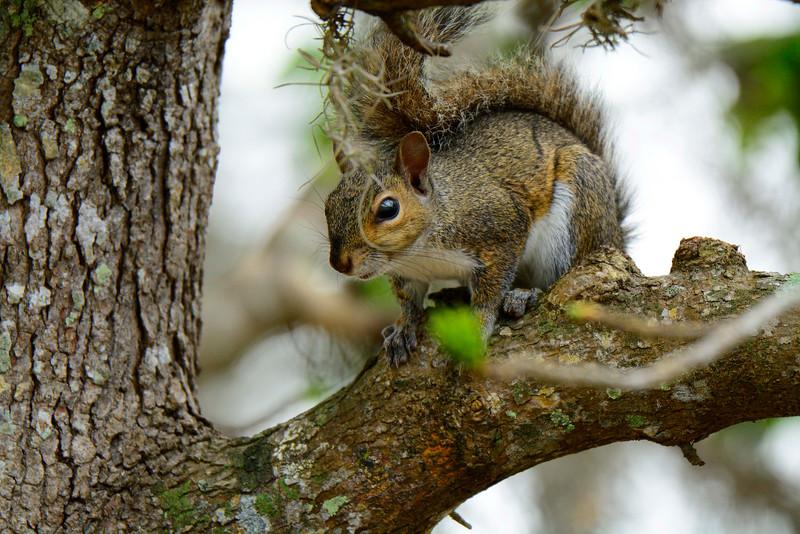 GraySquirrel-LakeYale-2016-SJS-001