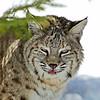 Bobcat(Lynx-rufus)-19