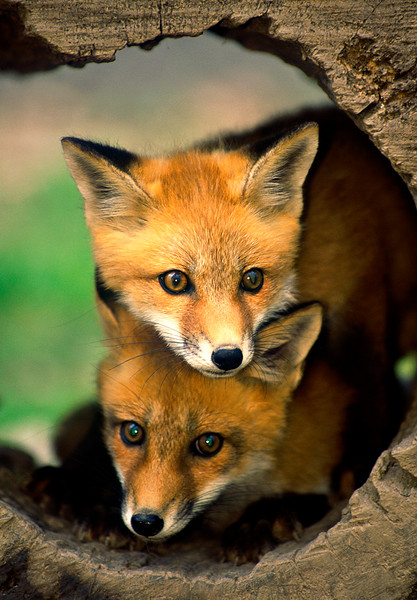 RedFoxes