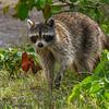 Raccoon-FortDeSoto-5-6-20-SJS-02