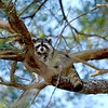 Raccoon-208-09