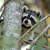 Raccoon-208-11