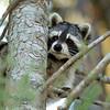 Raccoon-208-11