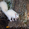 WhiteSquirrel-BrevardNC-11-3-18-SJS-42
