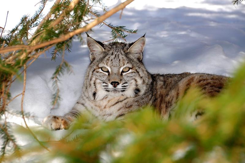 Bobcat(Lynx-rufus)-07