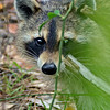 Raccoon-TroutLakeEustisFL-4-12-17-SJS-004