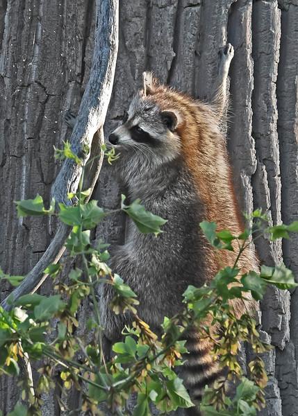 Raccoon-MM-5-18-17-SJS-005