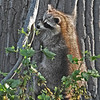 Raccoon-MM-5-18-17-SJS-005