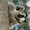 Raccoon-208-13