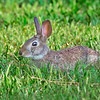 Cottontail-PineMeadowsCA-6-30-19-SJS-001