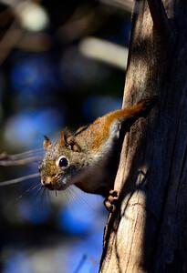 RedSquirrel2015-sjs-004