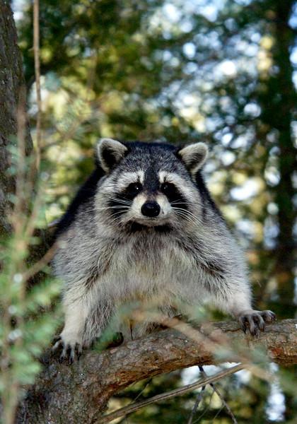 Raccoon-208-15