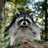 Raccoon-208-15