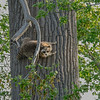 Raccoon-MM-5-18-17-SJS-003