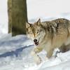GrayWolf(Canis-lupus)-17
