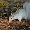 WhiteSquirrel-BrevardNC-11-3-18-SJS-20