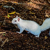 WhiteSquirrel-BrevardNC-11-3-18-SJS-51