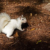 WhiteSquirrel-BrevardNC-11-3-18-SJS-30