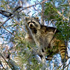 Raccoon-208-04