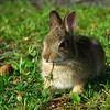 EasternCottontail506-04
