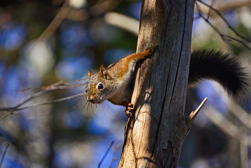 RedSquirrel2015-sjs-003