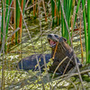 RiverOtter-LAWD-Florida-1-16-17-SJS-011
