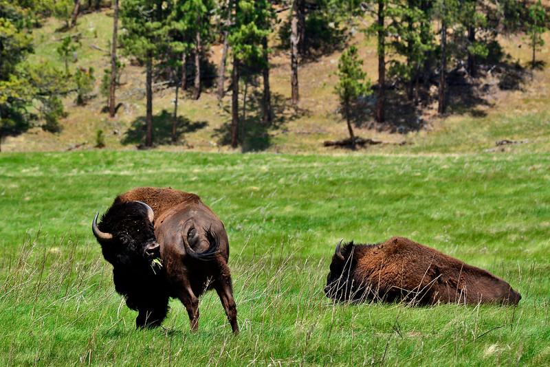 BuffaloCusterStateParkSD-2016-SJS-013