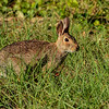 Cottontail-HiddenWaterPreserve-11-10-19-SJS-001
