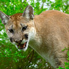 MountainLion-005