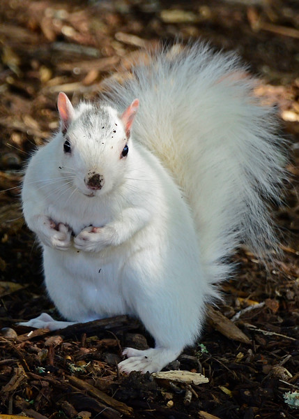 WhiteSquirrel-BrevardNC-11-3-18-SJS-47