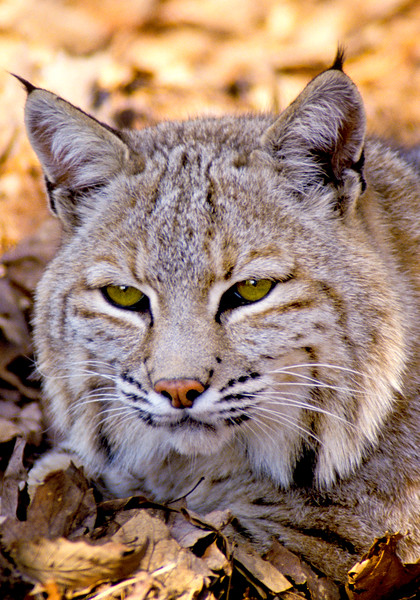 Bobcat-001