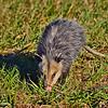 Opossum2016-SJS-004