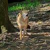Coyote-WVSWC2012-02
