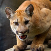 MountainLion-008