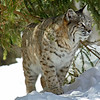 Bobcat(Lynx-rufus)-23
