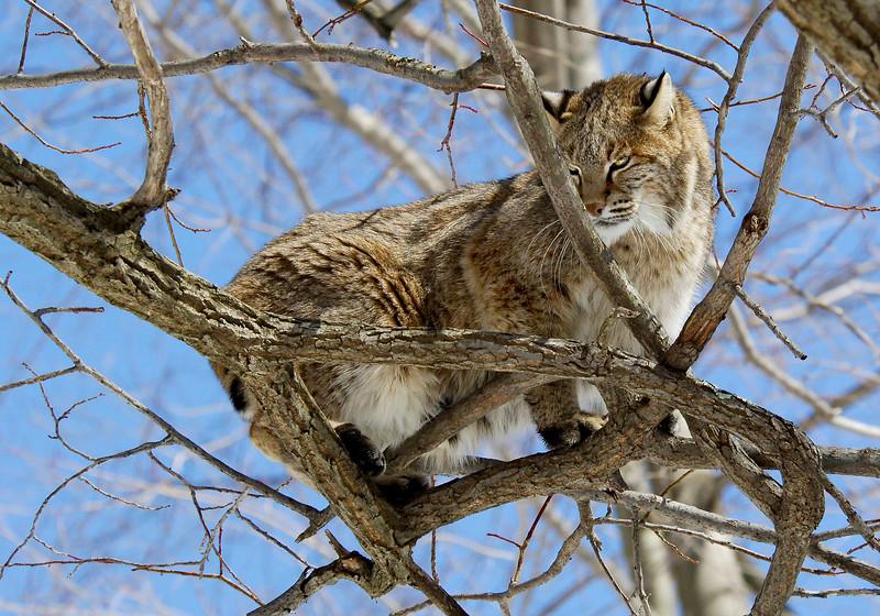 Bobcat(Lynx-rufus)-09
