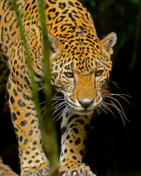 Jaguar-Bleize-2016-SJS-002