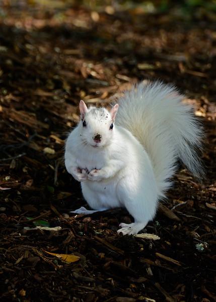 WhiteSquirrel-BrevardNC-11-3-18-SJS-46