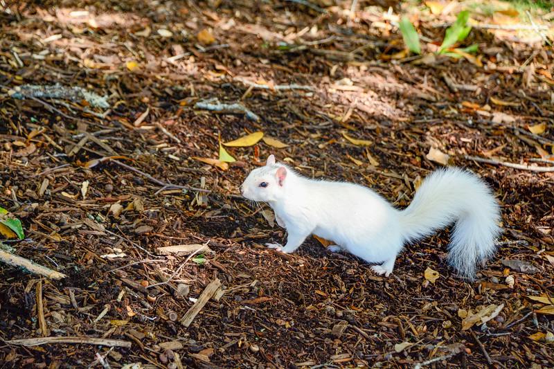 WhiteSquirrel-BrevardNC-11-3-18-SJS-52