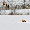 RedFox-Snow-01