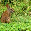 MarshRabbit-LYE-8-22-18-SJS-001