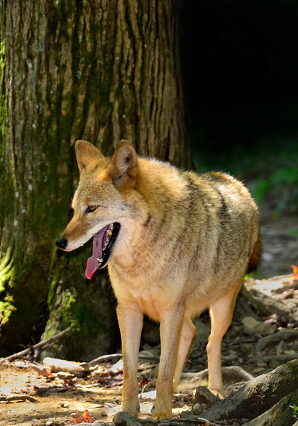 Coyote-WVSWC2012-03