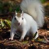 WhiteSquirrel-BrevardNC-11-3-18-SJS-07