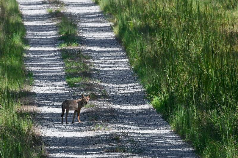 Coyote-PiedmontNWR-GrayGA-9-3-19-SJS-004