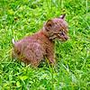 BobcatKitten-sjs-2015-005